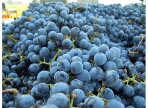 Corison Cab Grapes